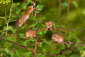 Young Harvest mice (Micromys minutus) exploring a blackthorn bush, (Prunus spinosa) , France. Controlled conditions.  -  Klein & Hubert
