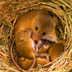 Harvest mouse (Micromys minutus) female with her young age 10 days in her nest in summer,France, Controlled conditions.  -  Klein & Hubert