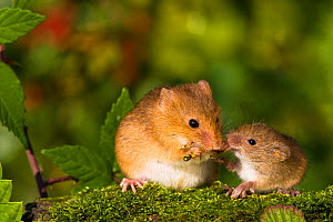 Young Harvest mouse (Micromys minutus), 16 days, begging pregnant female for food, France, Controlled conditions.  -  Klein & Hubert