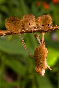 Young Harvest mice (Micromys minutus) group of four, age 15 days old, on branch with one hanging down by prehensile tail, France. Controlled conditions.  -  Klein & Hubert