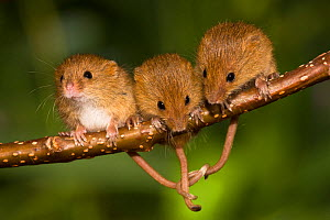 Young Harvest mice (Micromys minutus) age15 days, on branch, with their tails intertwined, France. Controlled conditions.  -  Klein & Hubert