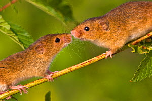 Harvest mice (Micromys minutus) pair sniffing each other, the female is the bigger of the two, France. Controlled conditions.  -  Klein & Hubert