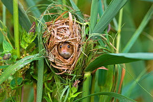 Harvest mouse (Micromys minutus) in nest built in marsh grasses in summer, France, Controlled conditions.  -  Klein & Hubert