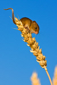 Young Harvest mouse (Micromys minutus) in cornfield in summer, France, Controlled conditions.  -  Klein & Hubert