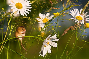 Young Harvest mouse (Micromys minutus) climbing in oxeye daisies in summer, (Chrysanthemum leucanthemum), France, Controlled conditions.  -  Klein & Hubert