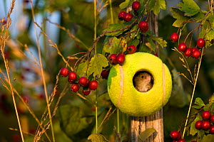 Harvest mouse (Micromys minutus) in tennis ball nest at summer end, France, Controlled conditions.  -  Klein & Hubert