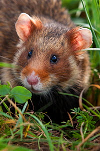 European hamster (Cricetus cricetus) in field, Alsace, France. Controlled conditions  -  Klein & Hubert