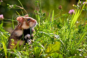 European hamster (Cricetus cricetus) in meadow, Alsace, France. Controlled conditions  -  Klein & Hubert