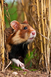 European hamster (Cricetus cricetus) in a ripe wheat field in summer, Alsace, France. Controlled conditions  -  Klein & Hubert