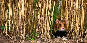 European hamster (Cricetus cricetus) in a ripe wheat field in summer, France. Controlled conditions  -  Klein & Hubert