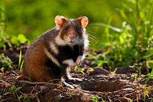 European hamster (Cricetus cricetus) at burrow, France. Controlled conditions  -  Klein & Hubert