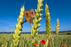 Harvest mouse (Micromys minutus) balancing in cornfield in summer, France, Controlled conditions.  -  Klein & Hubert
