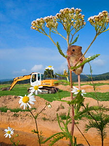 Destruction of Harvest mouse (Micromys minutus) habitat in marshland for construction new railroad, France, Controlled conditions.  -  Klein & Hubert