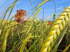Harvest mouse (Micromys minutus) in cornfield in summer, France, Controlled conditions.  -  Klein & Hubert