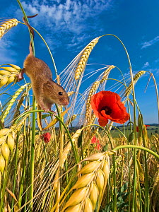 Harvest mouse (Micromys minutus) in cornfield with Poppies (Papaver rhoeas) in summer, France, Controlled conditions. - Klein & Hubert