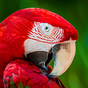 Red-fronted macaw (Ara chloroptera) portrait, captive.  -  Klein & Hubert
