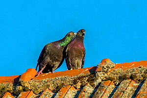 Domestic pigeon (Columba livia) in courtship on farm roof France.  -  Klein & Hubert