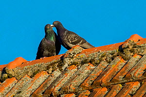 Domestic pigeons (Columba livia) in courtship on farm roof France.  -  Klein & Hubert