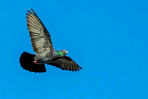 Domestic pigeon (Columba livia) in courtship flight in blue sky France.  -  Klein & Hubert
