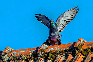 Domestic pigeons (Columba livia) mating on farm roof France.  -  Klein & Hubert
