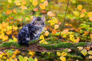 Semi-longhaired tabby kitten, age two months walking on a mossy dead branch in a deciduous forest in autumn - Klein & Hubert