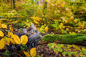 Semi-longhaired tabby kitten, age two months lying on a mossy dead branch in a deciduous forest in autumn - Klein & Hubert