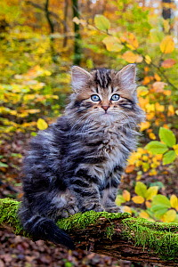 Semi-longhaired tabby kitten, age two months sitting on a mossy dead branch in a deciduous forest in autumn - Klein & Hubert