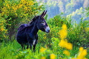 Common black donkey on mountain pasture with flowering broom in spring, France.  -  Klein & Hubert