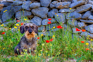 Standard wirehaired dachshund wildboar sitting in poppies in front of wall in Provence in summer, France.  -  Klein & Hubert