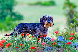 Standard Wirehaired dachshund male, standing on wall with poppies in Provence in summer France.  -  Klein & Hubert
