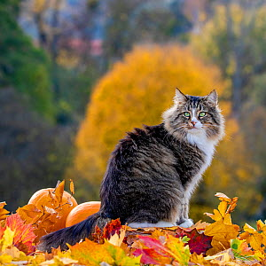 Semi-longhaired tabby and white cat, male, sitting in with autumn leaves and pumpkins, France  -  Klein & Hubert