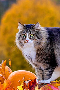 Semi-longhaired tabby and white cat with autumn leaves and pumpkins, France  -  Klein & Hubert
