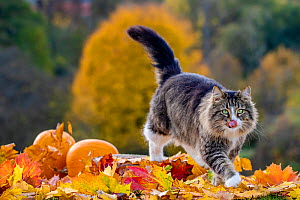 Semi-longhaired tabby and white cat walking among autumn leaves and pumpkins, France  -  Klein & Hubert