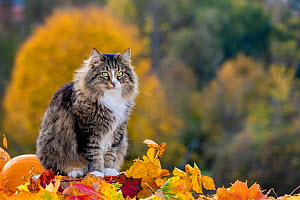 Semi-longhaired tabby and white cat, male, sitting with autumn leaves and pumpkins, France  -  Klein & Hubert