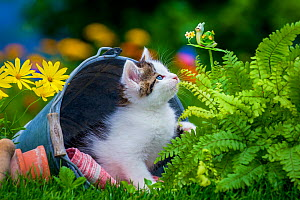 Tabby and white kitten, age seven weeks, lying in a bucket in the garden playing with a decorative snail  -  Klein & Hubert