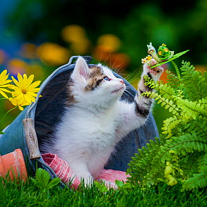 Tabby and white kitten, age seven weeks, sitting in a bucket in the garden playing with a decorative snail  -  Klein & Hubert