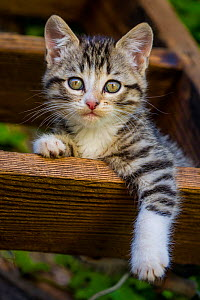 Tabby and white kitten,age two and a half months lying on a miller's ladder in a farmyard  -  Klein & Hubert