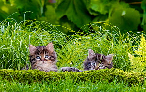 Maine Coon kittens, age five weeks, lying behind a mossy root in a garden in summer - Klein & Hubert