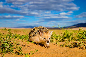 Long eared hedgehog (Hemiechinus auritus) walking, dunes bordering the Gobi desert. The dunes bordering the desert have at their bottom circular green patches rich in insects, Mongolia  -  Klein & Hubert
