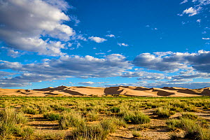 Dunes in the Gobi desert, habitat of Long-eared hedgehog (Hemiechinus auritus) Mongolia.  -  Klein & Hubert