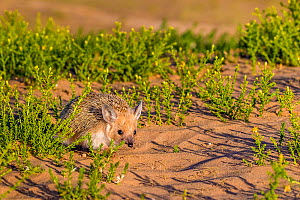 Long eared hedgehog (Hemiechinus auritus) looking for food, dune foothills, Gobi desert, Mongolia  -  Klein & Hubert