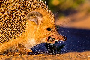 Long eared hedgehog (Hemiechinus auritus) eating a beetle, Gobi desert, Mongolia  -  Klein & Hubert