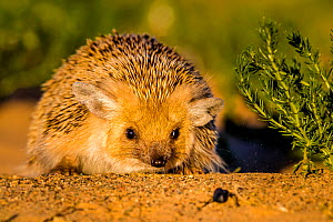 Long eared hedgehog (Hemiechinus auritus) facing a beetle, Gobi desert, Mongolia  -  Klein & Hubert