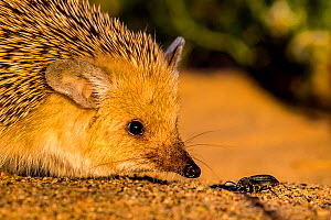Long eared hedgehog (Hemiechinus auritus) catching a beetle, Gobi desert, Mongolia Sequence 1 of 4  -  Klein & Hubert