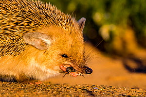 Long eared hedgehog (Hemiechinus auritus) eating a beetle, Gobi desert, Mongolia Sequence 2 of 4  -  Klein & Hubert