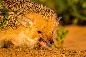 Long eared hedgehog (Hemiechinus auritus) eating a beetle, Gobi desert, Mongolia Sequence 4 of 4  -  Klein & Hubert