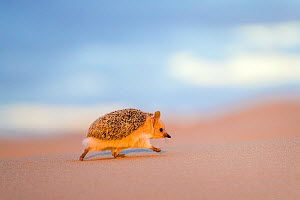 Long eared hedgehog (Hemiechinus auritus) walking, dunes bordering the Gobi desert at dusk, The dunes bordering the desert have at their bottom circular green patches rich in insects, Mongolia  -  Klein & Hubert