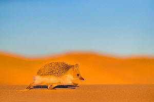 Long eared hedgehog (Hemiechinus auritus) walking on a dune bordering the Gobi desert at dusk, The dunes bordering the desert have at their bottom circular green patches rich in insects, Mongolia  -  Klein & Hubert