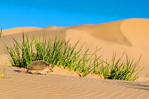 Long eared hedgehog (Hemiechinus auritus) looking for food, dune foothills of the Gobi desert, Mongolia  -  Klein & Hubert
