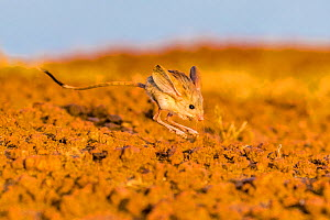 Long eared jerboa (Euchoreutes naso) jumping, Gobi desert at dusk, Mongolia  -  Klein & Hubert